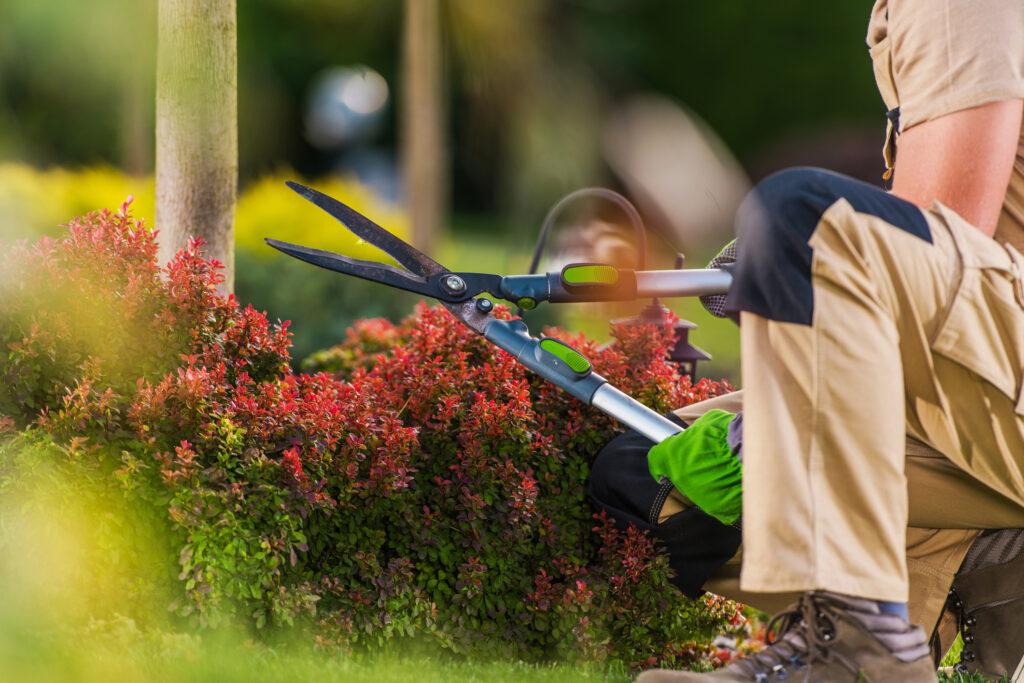 Puutarhuri leikkaa puutarhasaksilla syyspensasta